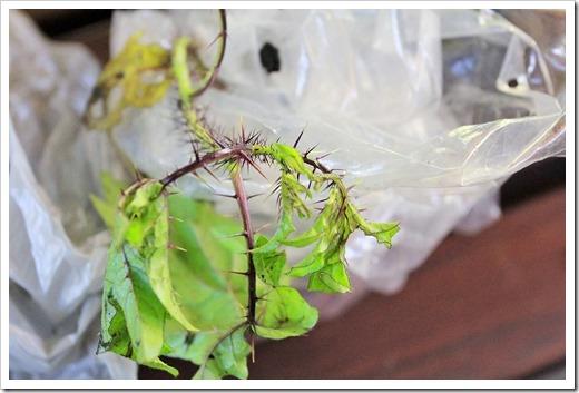 130620_Solanum-atropurpureum_01