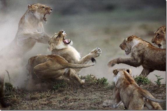 lionesses-570x379