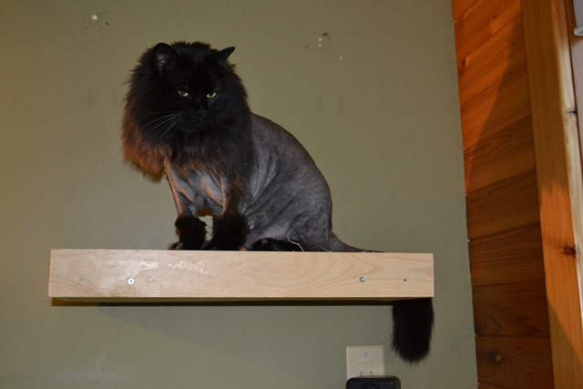 Cat with Lion Cut 2 - Copy