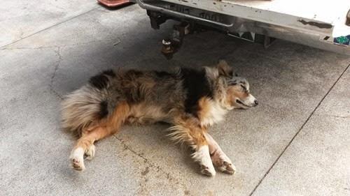 ハワイ島の犬
