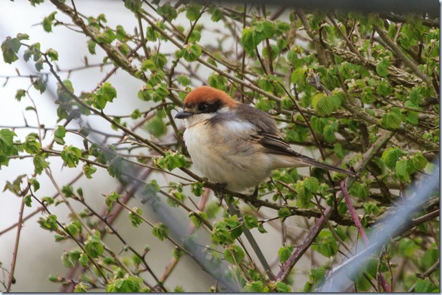 Chew_Woodchat-1