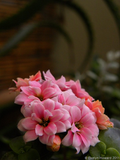 Kalanchoe © Evelyn Howard 2011