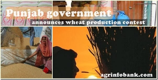 Punjab government announces wheat production contest
