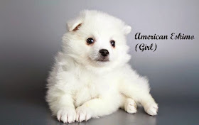 puppies for sale san diego american eskimo for sale