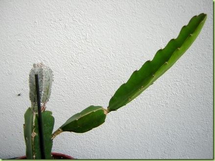 pollone portainnesto