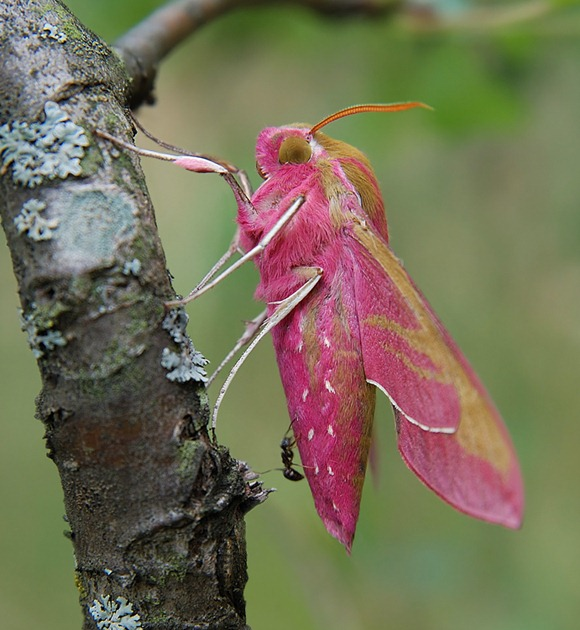 pink moth 05