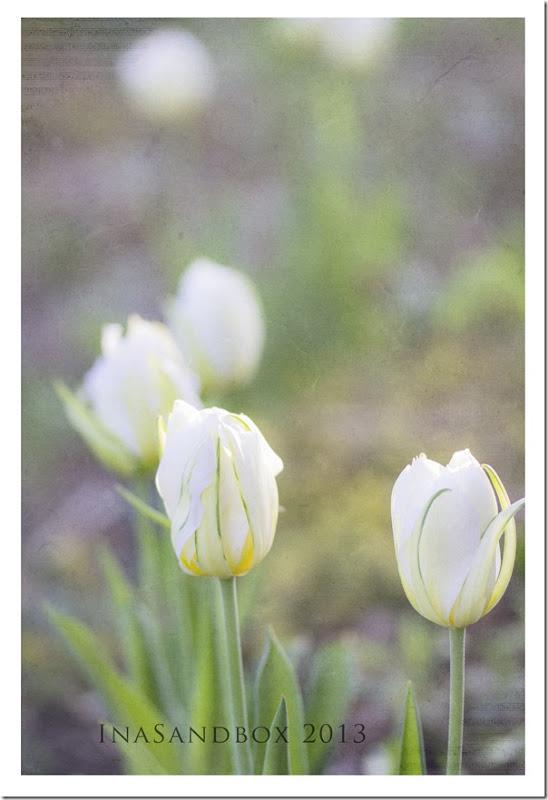 white tulips in front garden with kkawaken texture