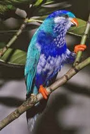Amazing Pictures of Animals, Photo, Nature, Incredibel, Funny, Zoo, Vini ultramarina, Ultramarine Lorikeet, Aves, Bird, Alex (4)