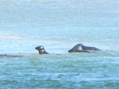 7.30.12 Chatham light beach seal near sand bar2