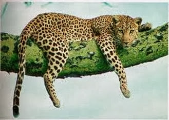 Amazing Pictures of Animals, Photo, Nature, Incredibel, Funny, Zoo, Leopard,Panthera pardus, Mammals, Carnivora, Alex (5)