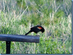IMG_4344 Bronte Creek Provincial Park Red-winged Blackbird