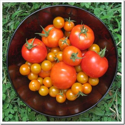 tomato harvest 008