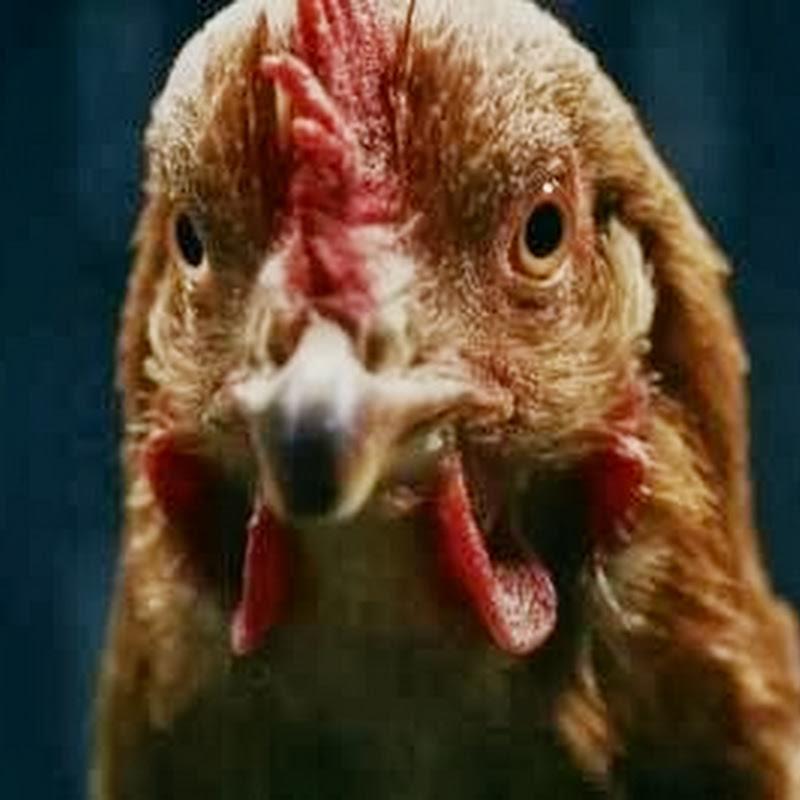 Y las gallinas se mueven: ¡Así!