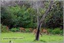_P6A2073_cheetal_chital_deer_mudumalai_bandipur_sanctuary