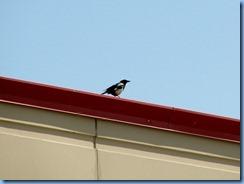 9269 Alberta Calgary - magpies