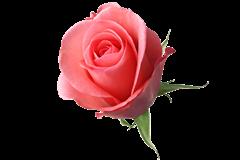 botao-rosa-rosa[3]