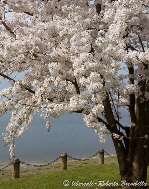 2014-03-21_Ciliegio giapponese_Lierna (10)