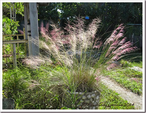 11-04-pink-muhly-2