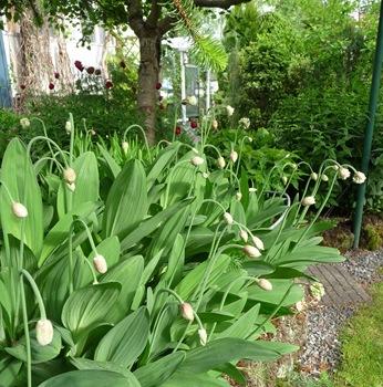 022 Allium victorialis Daniel Grankvist
