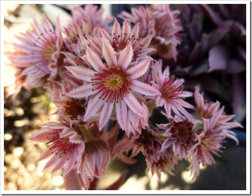 111001_succulent_gardens_sedums_in_flower_05_fixed