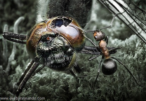 formigas inacreditaveis incriveis desbaratinando  (17)