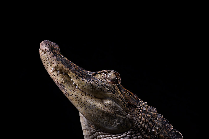 animal-photography-affinity-Brad-Wilson-alligator-1.jpeg