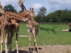 2007.08.09-034 repas des girafes