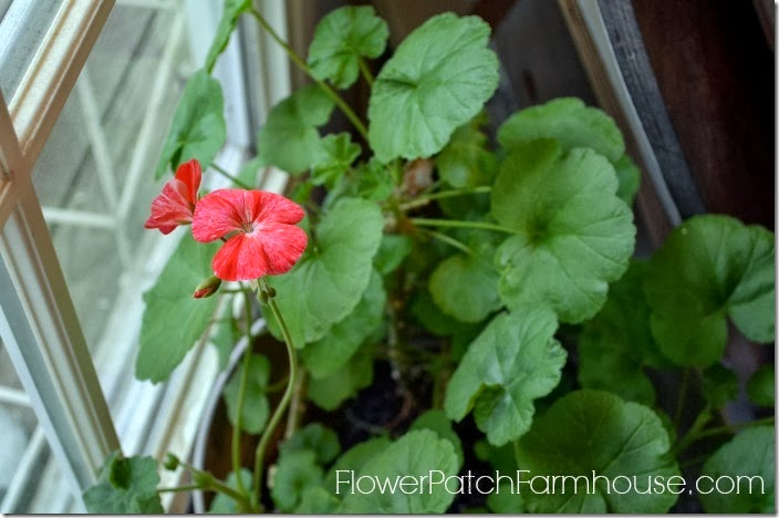 pelargonium inside