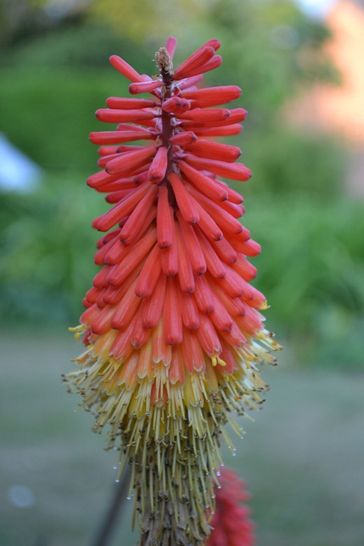 Red Hot Poker flower with bottom dew tips