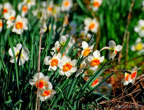 3. daffodils-kab