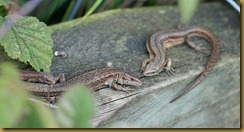 adult & juvenile Common Lizards