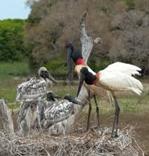 Amazing Pictures of Animals, Photo, Nature, Incredibel, Funny, Zoo, Jabiru mycteria, Bird, Aves, Alex (10)