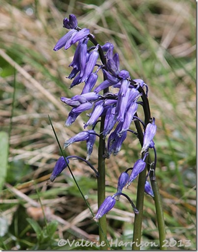 20-bluebells