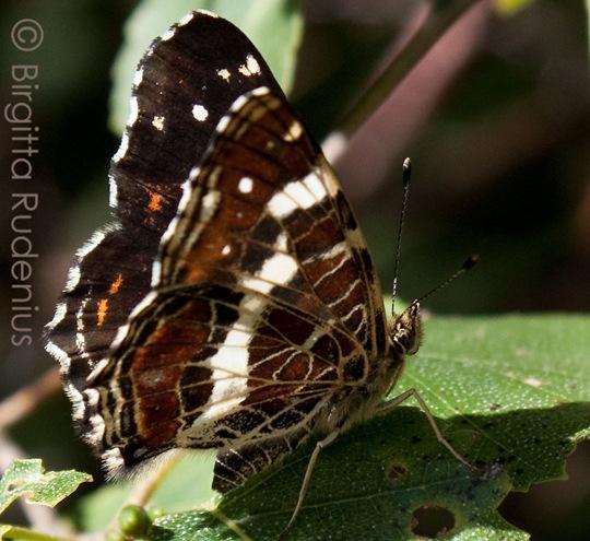 butterfly_20110802_skog