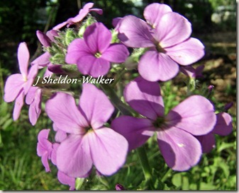 purple wild flowerGEDC0697