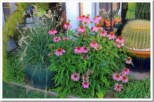 120615_Echinacea-Kims-Knee-High_02