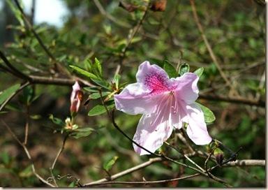 pink azalea 2