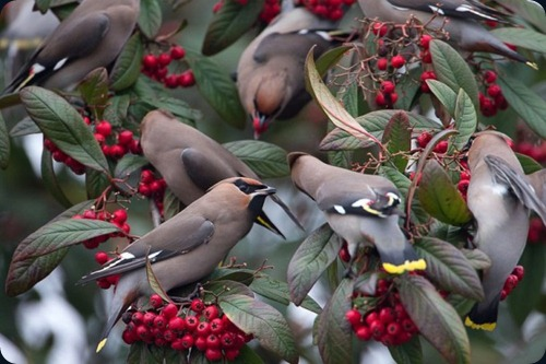 Amazing Beauty of Waxwing Birds4