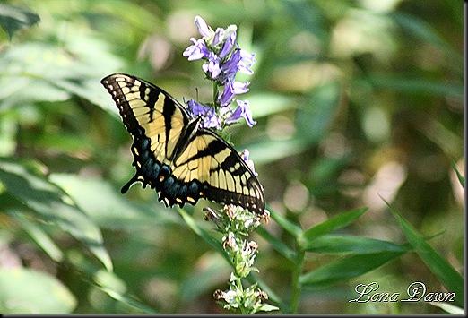 CH_TigerSwallowtail