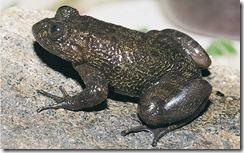 INDRANEIL'S NIGHT FROG- Nyctibatrachus indraneili