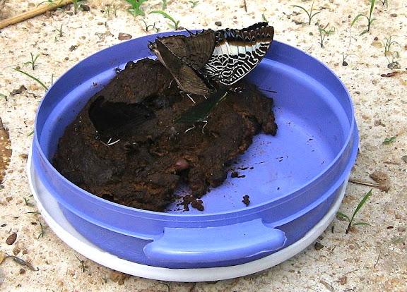 Cinq papillons dont Charaxes etheocles etheocles CRAMER, 1777 (?), Charaxes brutus brutus CRAMER, 1779, Charaxes eupale eupale DRURY, 1782 (au milieu) et, peut-être, Charaxes laodice DRUCE, 1782 (à gauche). Bobiri Forest (Ghana), 22 janvier 2006. Photo : Henrik Bloch