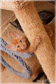 Фото история котят мейн кун в возрасте 7,5 недель 10