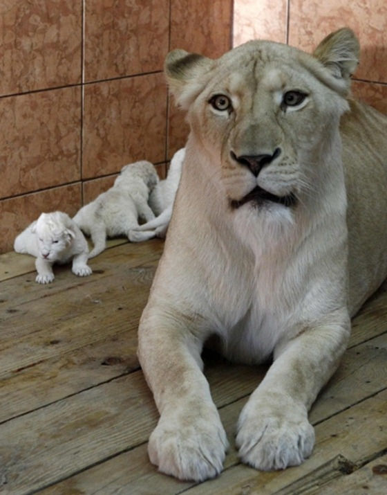 Rare white lion cubs make debut at Serbian zoo 03
