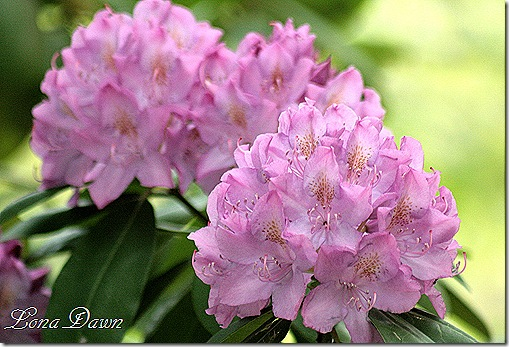 Rhododendron_First