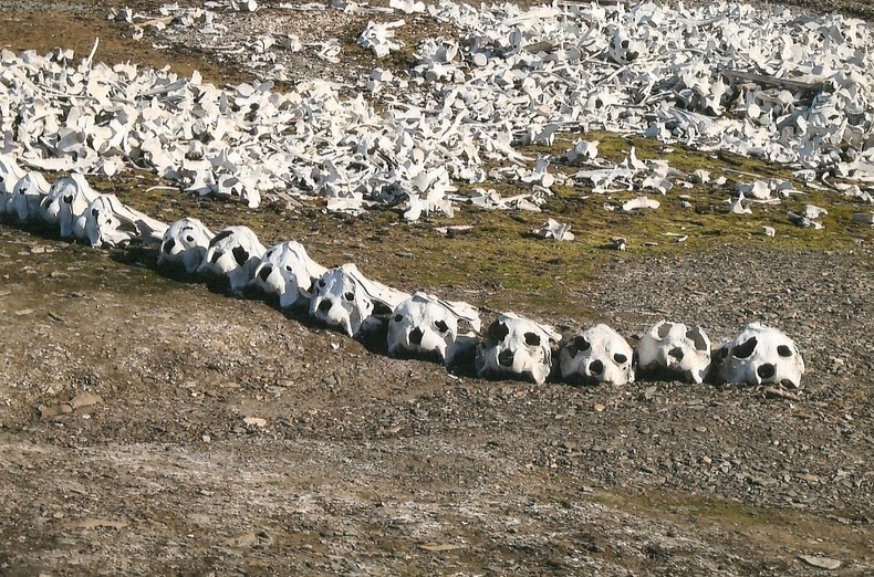 beluga-whale-bones-5