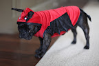 Then again, maybe I'll wear this devil's outfit. I do feel like a bit of a devil now and then, and the red is striking against my lustrous black fur! Too bad the wings don't actually make you fly. Otherwise, watch out, squirrels!
