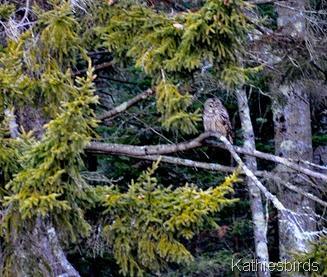 9. barred owl-kab