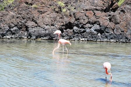 Imagini Galapagos: flamingo