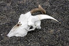2069351-cabra-de-craneo-en-un-arido-suelo-volcanico-de-lanzarote-islas-canarias-espana
