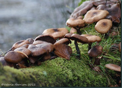 5-toadstools-on-log